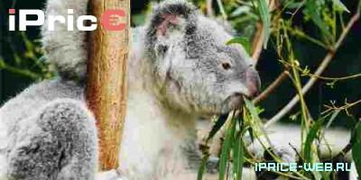 Коа́ла (англ. Koala, лат. Phascolarctos cinereus) — вид двурезцовых сумчатых, обитающий в Австралии. Единственный современный представитель семейства Phascolarctidae.